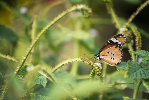 Pomarańczowy monarchiczny motyl je ziarna