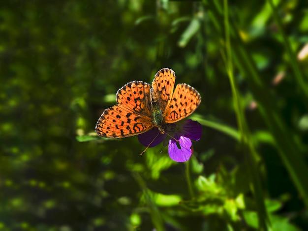 Pomarańczowy motyl glanville fritillary (melitaea cinxia) siedzi na fioletowym kwiacie na zielonej naturze