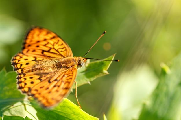 Pomarańczowy motyl siedzi na wiosnę kwiat słoneczny dzień