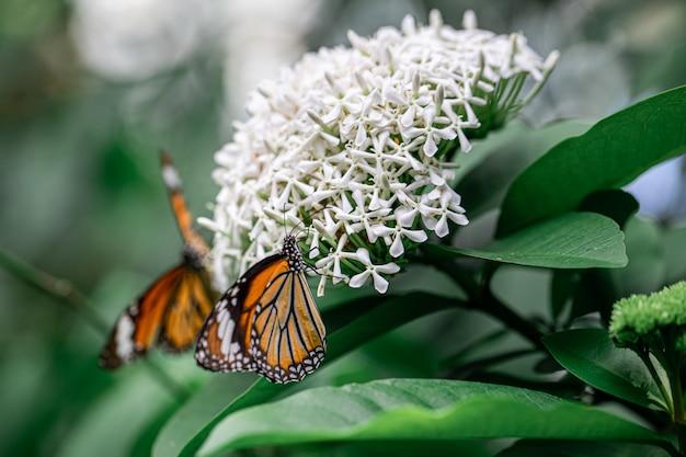Pomarańczowy motyl z białym kwiatem ixora