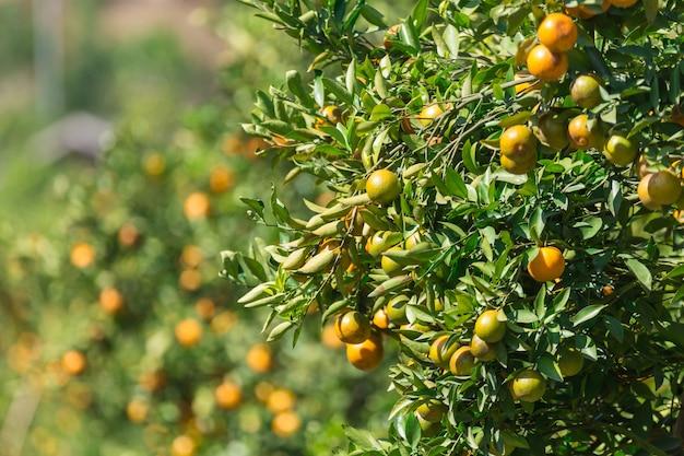 Pomarańczowy ogród plantacji