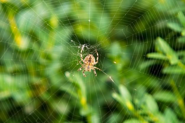Pomarańczowy pająk w sieci przed zielonym krzewem