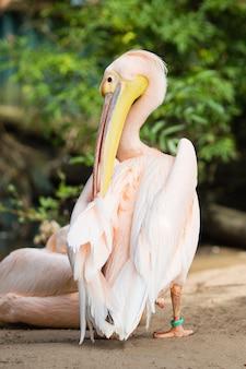 Pomarańczowy pelikan. duży ptak w zoo.