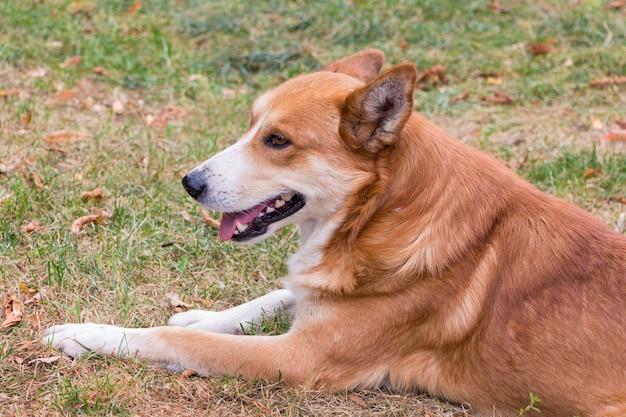 Pomarańczowy pies z białym pyskiem leży na trawie_