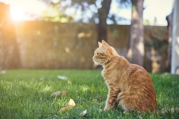 Pomarańczowy pręgowany kot siedzi na trawniku patio z wschodem słońca w. siedzi wyprostowany na boku.