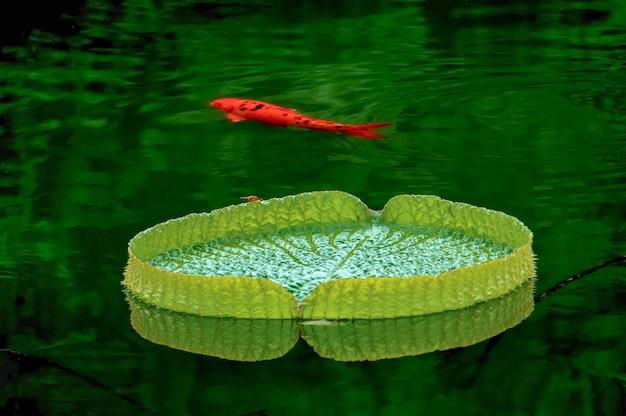 Pomarańczowy ryb pływanie