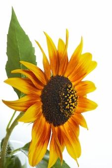 Pomarańczowy słonecznik ozdobny na jasnym tle