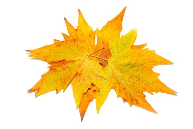 Pomarańczowy spadek liści klonu na białym tle.