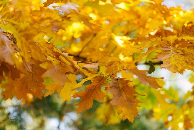 Pomarańczowy żółty dąb opuszcza w jesieni na drzewie