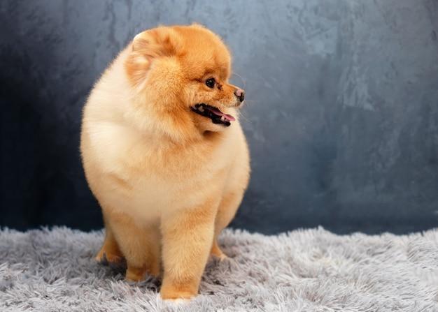 Pomeranian pozuje po wystawie w domu na macie.