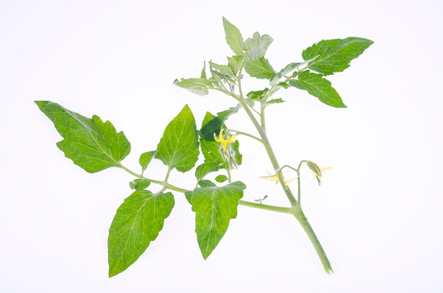 Pomidorowa gałąź z zielonymi liśćmi i żółtymi kwiatami. zdjęcie studyjne.