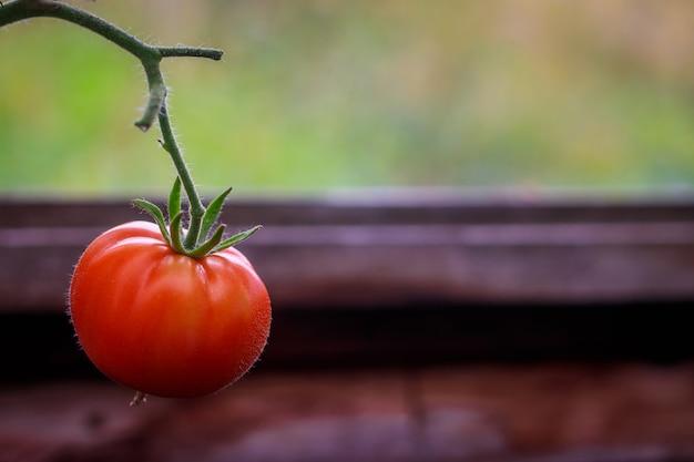 Pomidory dojrzewają w szklarni. zbiory do domu. żniwo w szklarni.