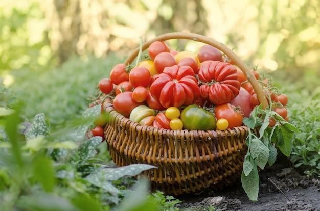 Pomidory w koszu na streszczenie rozmyte tło