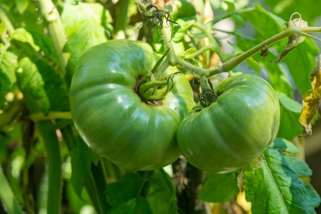 Pomidory w ogrodzie. zielone pomidory rosnące na krzaku, roślina