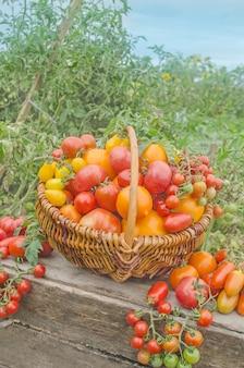 Pomidory w plecionym koszu na łonie natury. kolorowe pomidory w koszyku