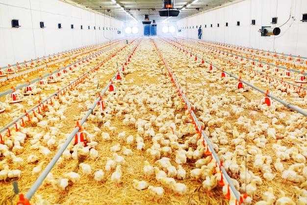 Pomieszczenie dla kurników, karmienie kurczaka