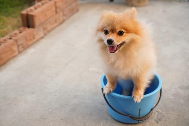 Pomorska lub mała rasa psa stoi w niebieskim wiadrze, które umieszcza się na betonowej podłodze