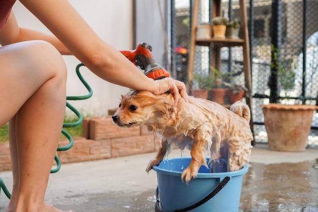 Pomorska lub mała rasa psa została wzięta pod prysznic przez właściciela i stała na betonowej podłodze