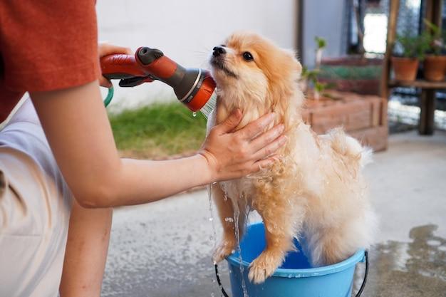 Pomorski lub mały pies rasy bierze prysznic w niebieskim wiadrze