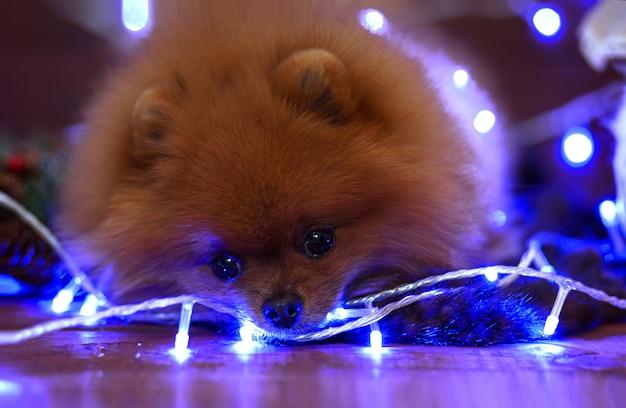 Pomorski pies w bożenarodzeniowych dekoracjach na drewnianej podłoga. świąteczny pies. szczęśliwego nowego roku