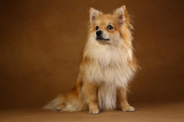 Pomorski spitz pies na brown tle w studiu
