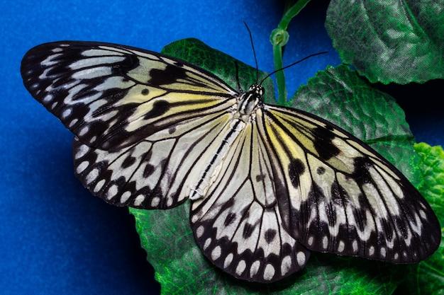 Pomysł leuconoe, motyl nimfa drzewna, motyl z papieru ryżowego.