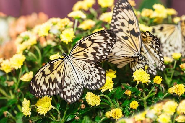 Pomysł motyla leuconoe na żółtej chryzantemie