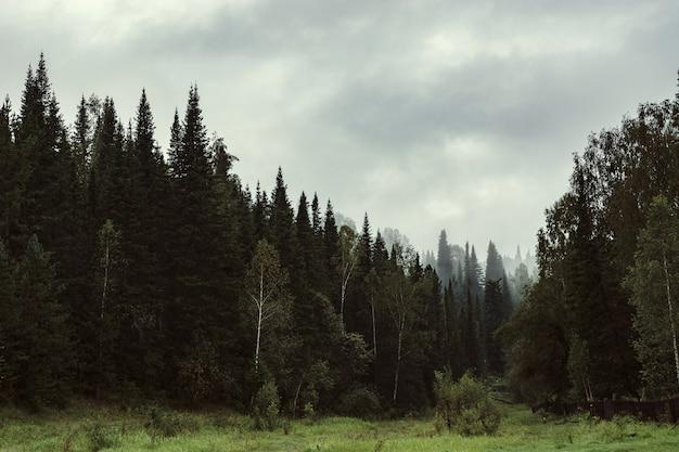 Ponura atmosfera wieczoru w ciemnym lesie. wysokie jodły i sosny we mgle. pochmurna pogoda.