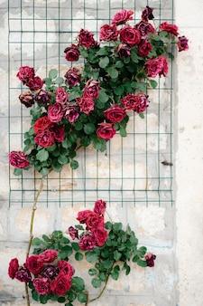 Ponure tło - kwitnące krzewy bordowych róż na kamiennej ścianie.