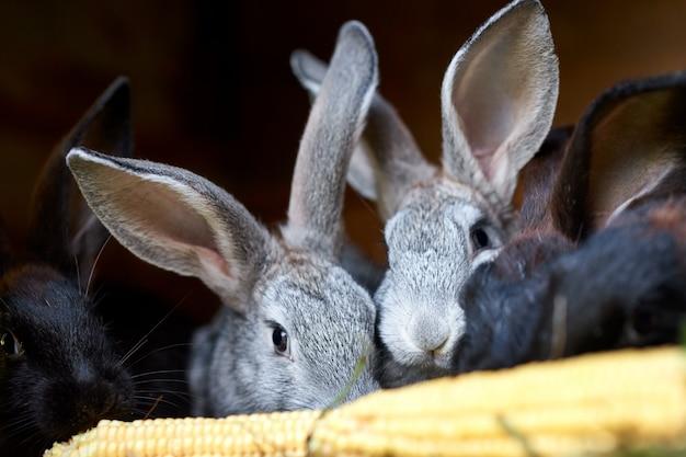 Popielaci i czarni królików króliki je ucho kukurudza, zbliżenie