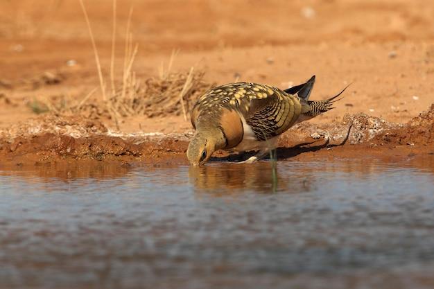 Popielate samce głuszca pijące w punkcie wodnym na hiszpańskim stepie we wczesnych godzinach porannych
