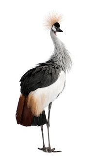 Popielaty koronowany żuraw - balearica regulorum na bielu odizolowywającym