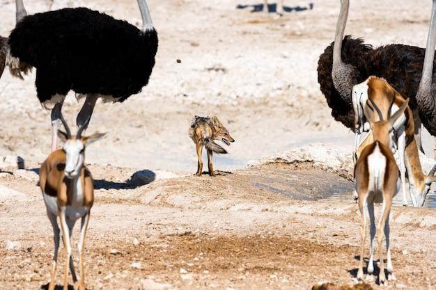 Popierający szakal patrzeje niektóre zdobycza przy waterhole, okaukuejo, etosha park narodowy, namibia