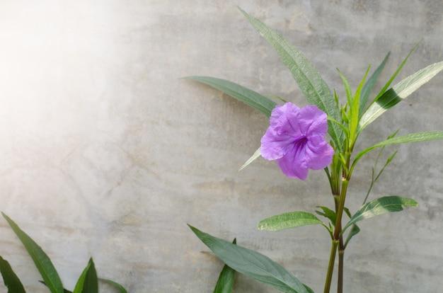 Popping pod kwiat na tle ściany cementu. nazwa naukowa ruellia tuberosa linn