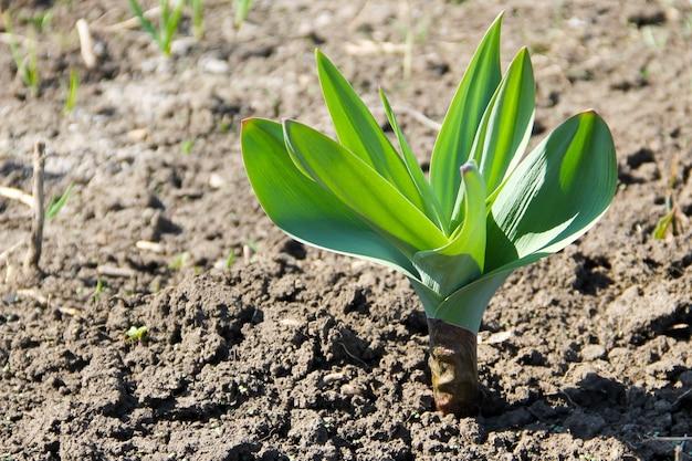 Por piaskowy (allium scorodoprasum) lub rocambole i koreański czosnek marynowany to eurazjatycki gatunek dzikiej cebuli