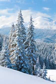 Poranek zimowy spokojny górski krajobraz z pięknymi jodłami na zboczu (góra kukol, karpaty, ukraina)