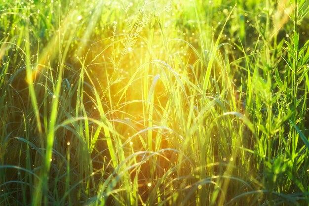 Poranne krople rosy na wiosennej trawie przy podświetleniu