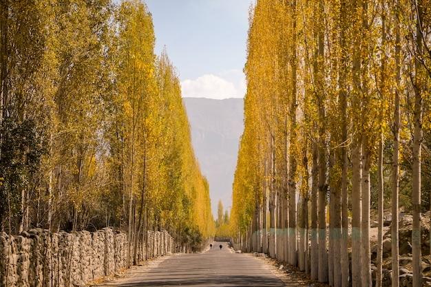 Poranne światło oświetliło topolowe drzewa, powodując złote ściany wzdłuż drogi.