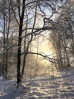 Poranne światło słoneczne w zimowym lesie