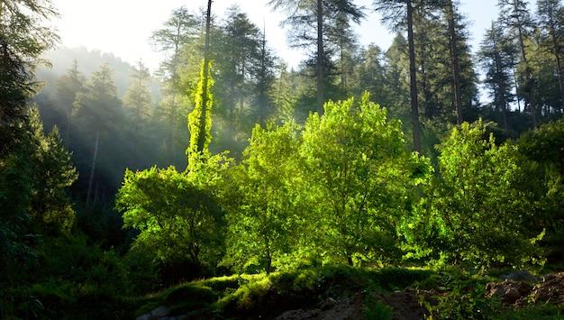 Poranny las z promieniami słońca