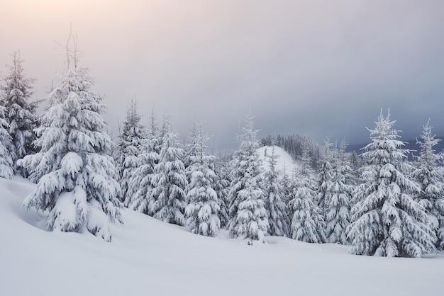 Poranny zimowy spokojny górski krajobraz z pięknymi oszronionymi jodłami i trasą narciarską przez zaspy śnieżne na zboczu góry karpaty, ukraina