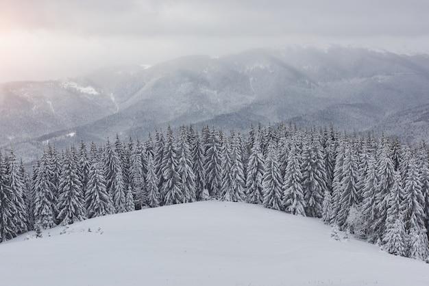 Poranny zimowy spokojny górski krajobraz z pięknymi oszronionymi jodłami i trasą narciarską przez zaspy śnieżne na zboczu góry