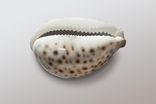 Porcelana porcelanki porzellanschnecke cowries