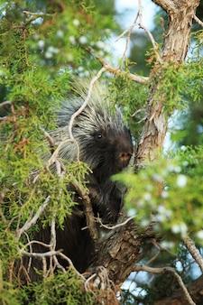 Porcupine in juniper tree vertical