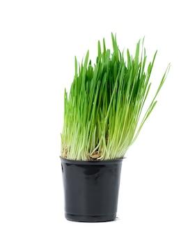 Porośnięte ziarna zbóż w czarnej plastikowej doniczce, zielona trawa dla kotów. zdrowa naturalna żywność dla zdrowia
