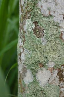 Porosty rosną przykrywają pień drzewa