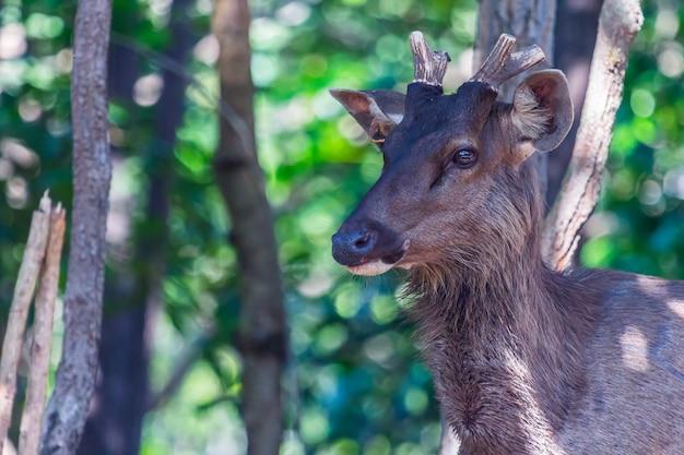 Poroże z muł jelenia złotówki (odocoileus hemionus) z aksamitną poroże patrząc z lasu