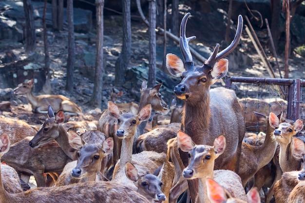 Poroże złotowłosego jelenia (odocoileus hemionus) z aksamitnym porożem wpatrującym się w las.