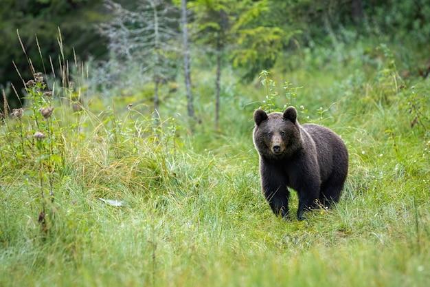 Portraif niedźwiedzia brunatnego stojącego na leśnej polanie