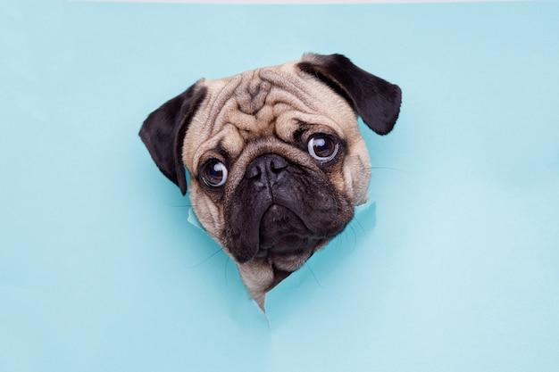 Portraite uroczego psa rasy mops wychodzi z dziury na niebieskim papierze